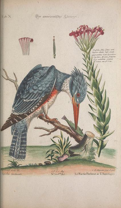 Color illustration of a belted kingfisher perched on a stick with a fish